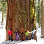 The Tunnel tree dead giant Sequoias tree