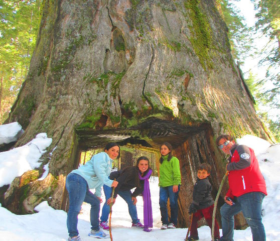 giant sequoias photos in winter in yosemite national park