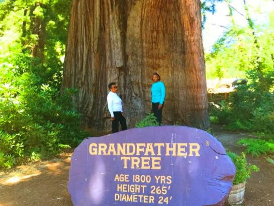 The Grandfather Tree