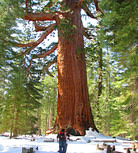 Grizzly Giant giant tree in Mariposa Grove
