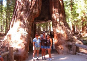 The Giant Sequoias and Coast Redwoods