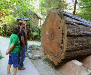 The Immortal Redwood Tree next to the visitor center